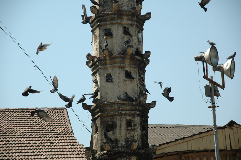 pigeons011